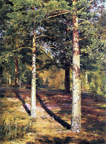 Pines in the sunshine, study