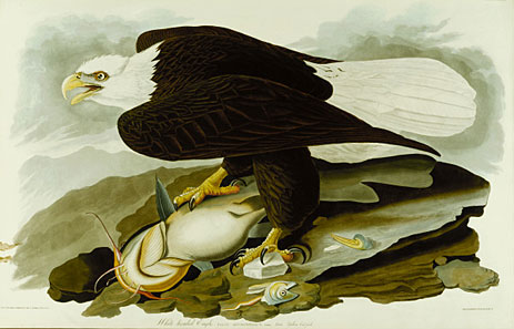 The Bald Headed Eagle from Birds Of America, c.1827/30
