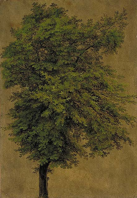 Young Oak Tree