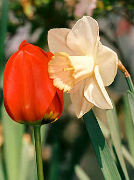 Kissing Flowers - Daffodil and Tulip