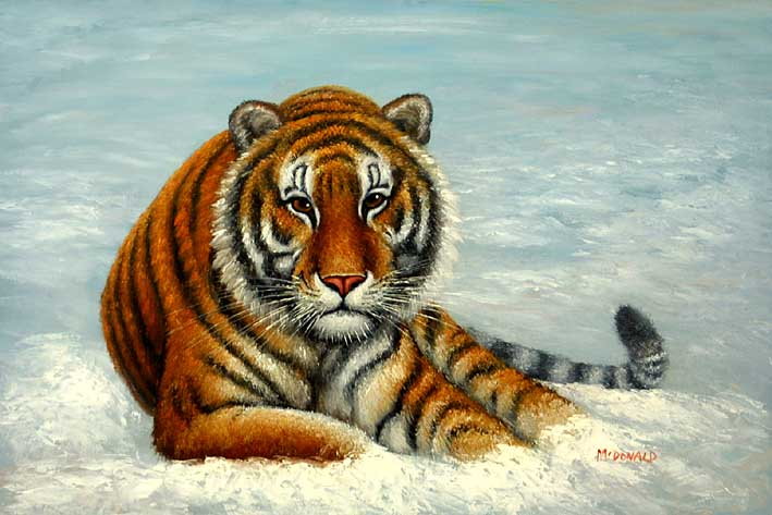 Siberian Tiger Laying in Snow